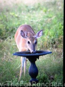 Doe drinking from bird bath
